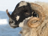 Scottish Blackface Sheep Head
